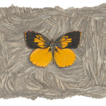 California Dogface Butterfly by Derek Bond, Limited Edition print from original egg tempera painting on hornet paper.